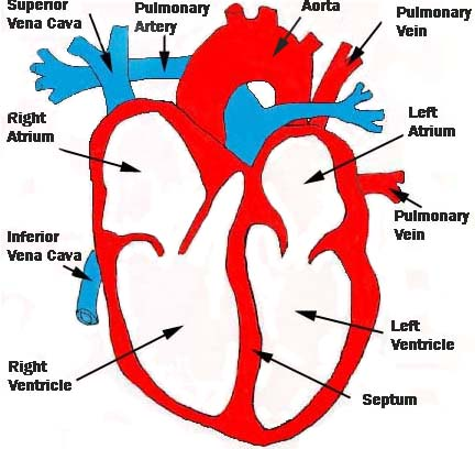 Heart Structure Diagram